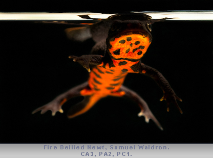 Fire Bellied Newt CA3 PC1 PA2