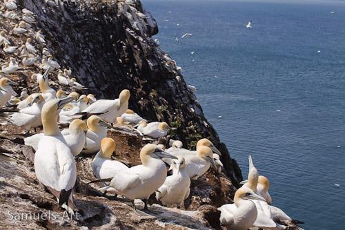 Gannets on the Bass Rock, Scottish Sea Bird Centre (WA1 PA1 PC0)