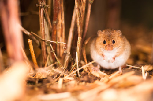 Harvest Mouse (Micromys minutus) (CA2 PA1 PC1)