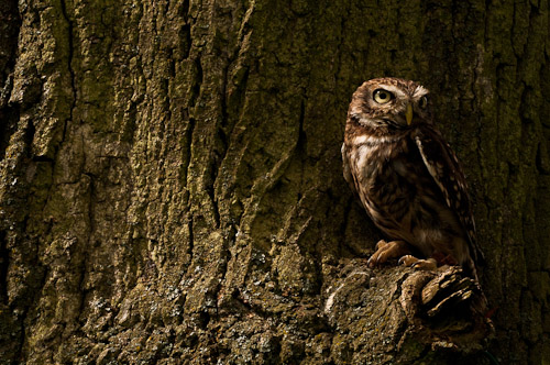 Little Owl (Athene noctua) (CA2 PA1 PC0)